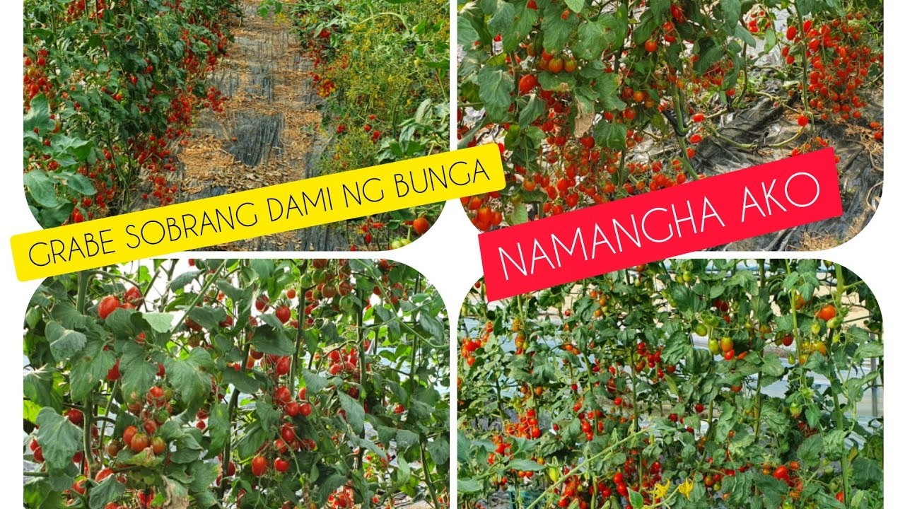 Grabe ang daming bunga ng mini tomato(방울 토마토)