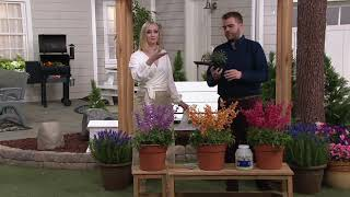 Video de cottage farms tropical sunrise braided hibiscus