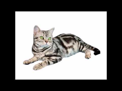 Les Chats /   L'American Shorthair