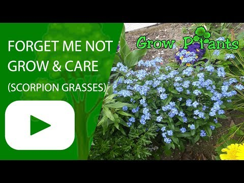 Forget me not plant -grow & care (Scorpion grasses flower)