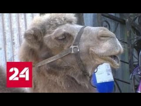 Верблюд откусил руку хозяину и спасителю: полиция начала проверку