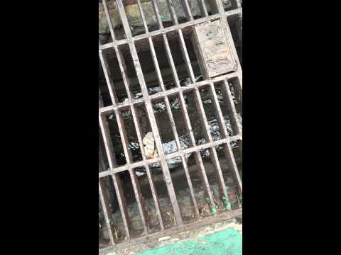 A Huge Komodo Dragon in the Sewers of Bangkok!