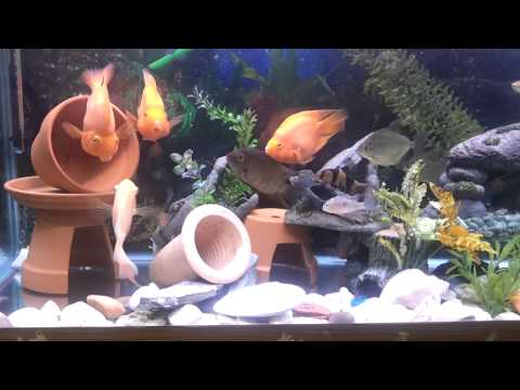 My community Fish Tank Red Parrot Gold Severum