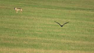 Волк и орел-могильник в одном кадре