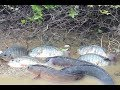Amazing Fishing Videos Catch Fish By Hands Traditional Fish Trap In Cambodia mp3