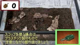 2013年11月上旬、夏に飼育していたカブトムシを飼育していたケースを掘...