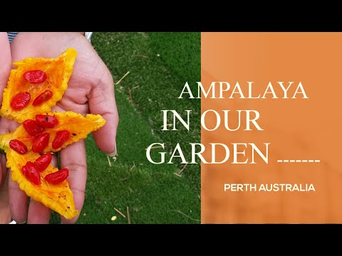 "ampalaya""♧---bitter-melon]-in-australia-#stayathome-stay-healthy"