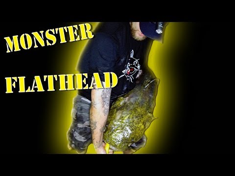 Post spawn Flatheads! from YouTube · High Definition · Duration:  8 minutes 7 seconds  · 2,000+ views · uploaded on 8/5/2015 · uploaded by DTroFishOn