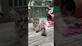 Majestic Maine Coon Cats   on the Catio   #shorts