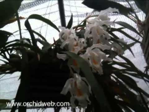 Coelogyne Cristata Pflege Orchidweb Coelogyne Cristata