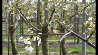 Bloesem fruitbomen tegen nachtvorst  beschermen bij fruittuin Verbeek