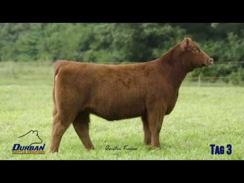 Tag 3 Heifer – Fu Man Chu x Broker | Durban Cattle Company