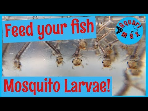 Mosquito Larvae: Live Fish Food