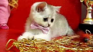 Шотландские котята драгоценного окраса. ВЯЗКА 89038745821