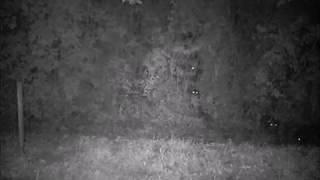 栃木県益子町で撮影されたイノシシ映像です。 林の中から畑地の様子をジ...