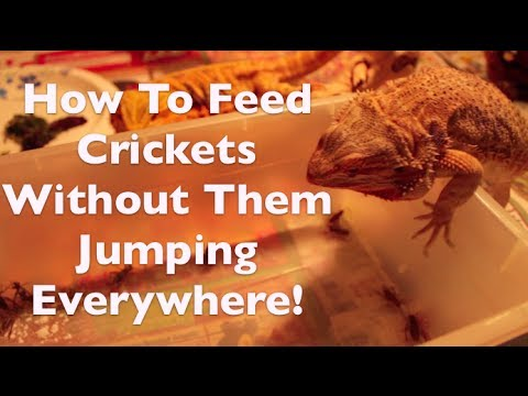 Breeding Crickets
