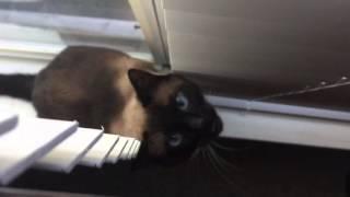 А поговорить? =^..^= Сиамский кот разговаривает с хозяйкой ;)