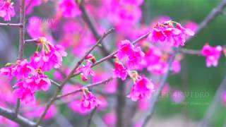 台北 南港東陽公園-櫻花-桜まつり-(4K video 影片)- cherry blossoms SAKURA Taipei Nangang PARK  #jeff0007