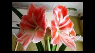 видео Комнатный цветок гиппеаструм, размножение и уход в домашних условиях, почему не цветет гиппеаструм (+фото)