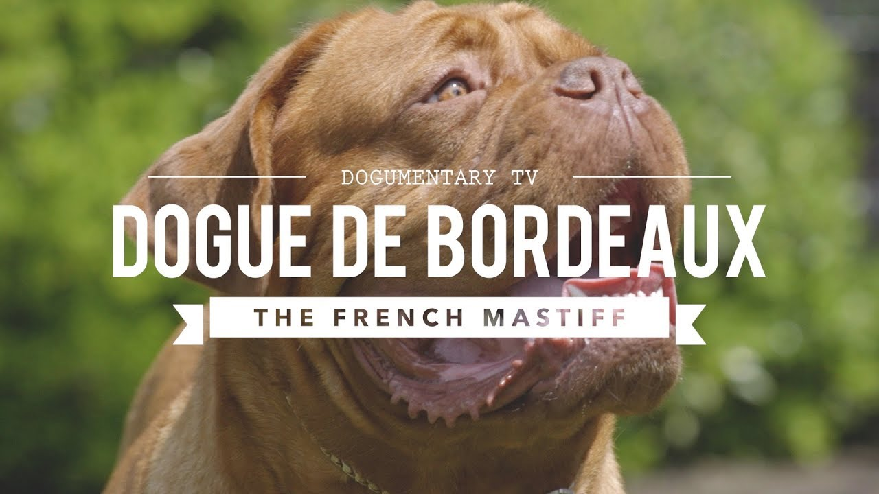 All About The Dogue De Bordeaux The French Mastiff Youtube