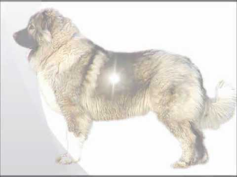 Caucasian Mountain Dog ~ Puppies For Sale, By Pets4You.com