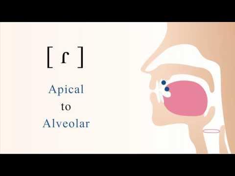 [ ɾ ] voiced apical alveolar tap