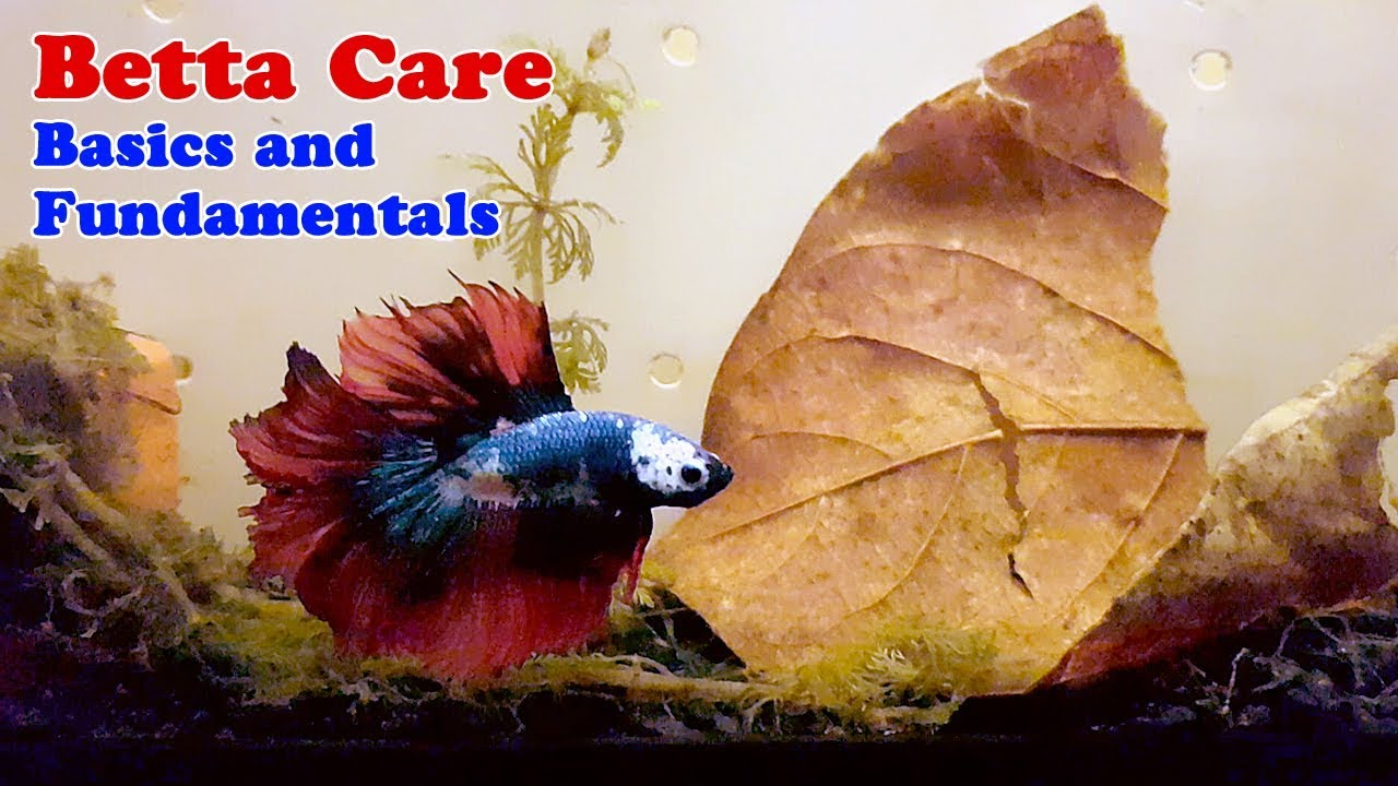 How to Properly Take Care of your Betta Fighting Fish