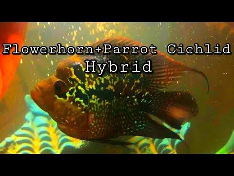 Flowerhorn / Parrot Cichlid Hybrid Care And Information