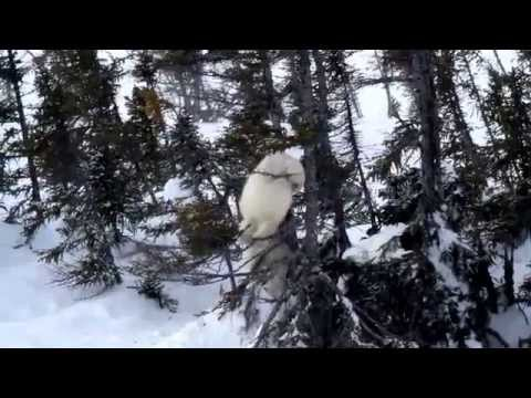Tree-Climbing Polar Bear Cubs