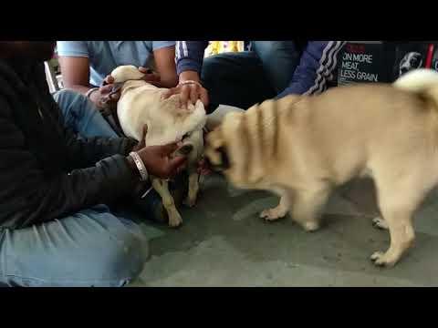 Pet Care - Pug Mating - Bhola Shola