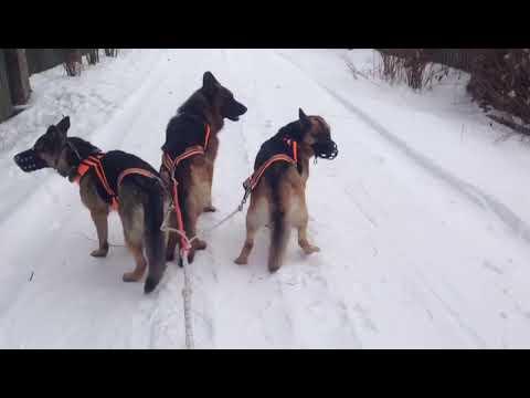 чукчины сани с собаками 5