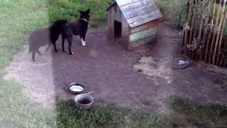 овца на собаке ))