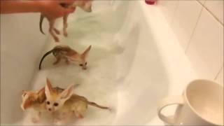 Лисы ушастики любят ванну с пеной1.mp4