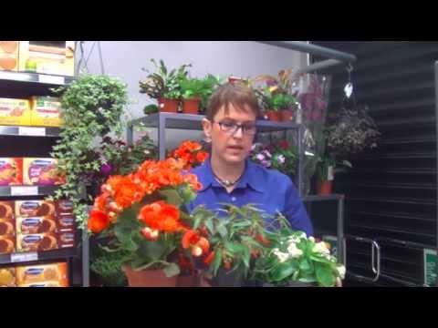 Fancy Leaf Stellar Geranium ( Pelargonium 'Peppermint Star') in the ...