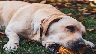 Dog loves to eat their favorite food/ chewing bones their favorite