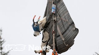 Why Urine-Crazed Goats Have Been Helicoptered to a New Home