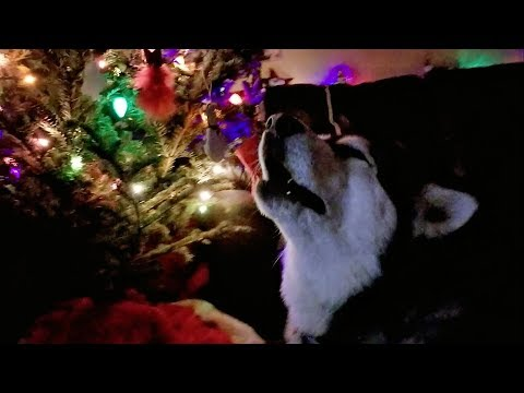 Tonka the Malamute Sings We Wish You A Merry Christmas!!!!