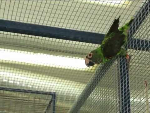 Все О Домашних Животных: Конголезский Попугай