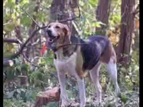 american foxhound breeders in actions