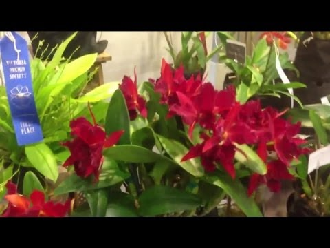 The Victoria Orchid Society Orchid show display tables 2013 Part 2 of 2