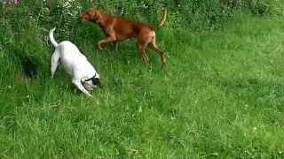 Vizsla  Archie & Pheope Pointer X Legging It!
