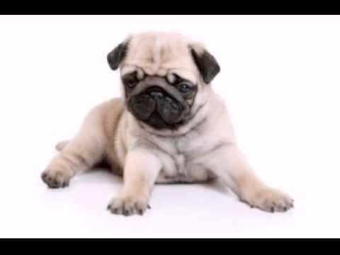 Funny Birthday Song Pugsley The Pug