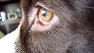 English Springer Spaniel's Eye