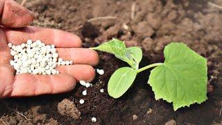 Приготовьтесь вас завалит огурцами! Посадка семенами в грунт и подкормка огурцов в мае июне Советы!