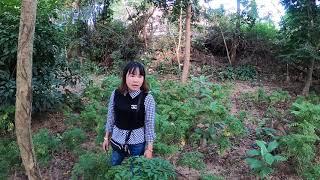 Hướng dẫn trồng cây Đinh Lăng cho năng suất cao