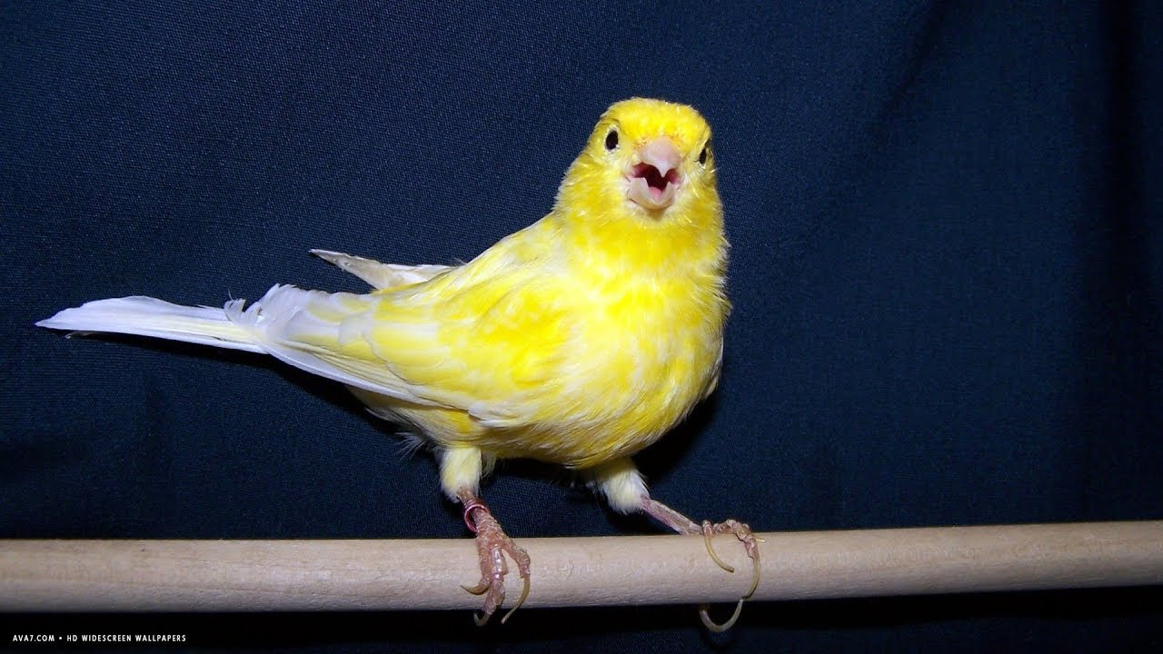 The Song Canary