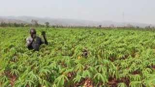 AFRICA; Upholding cassava's potential
