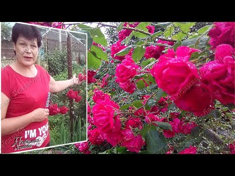 Плетистые розы  Уход во время и после цветения