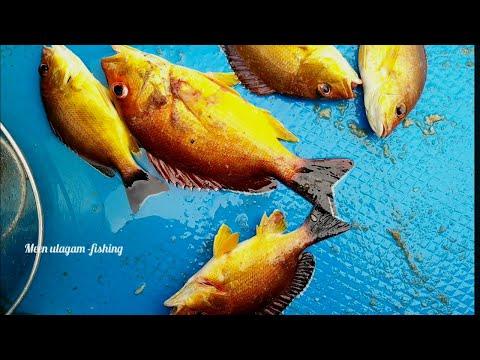 Amazing Fishing Snapper Fish