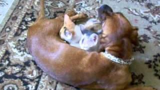 Собака кормит котят